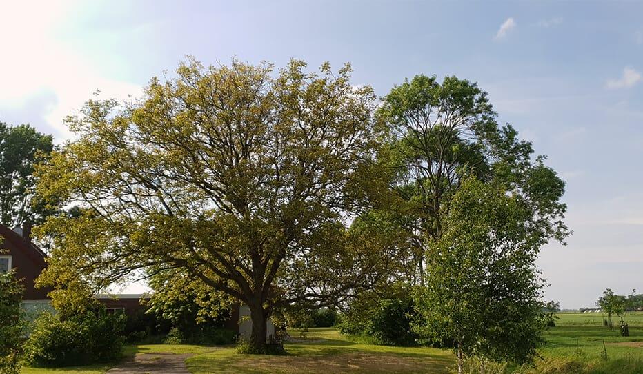 de oude walnootboom