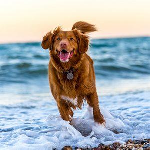 rennende hond